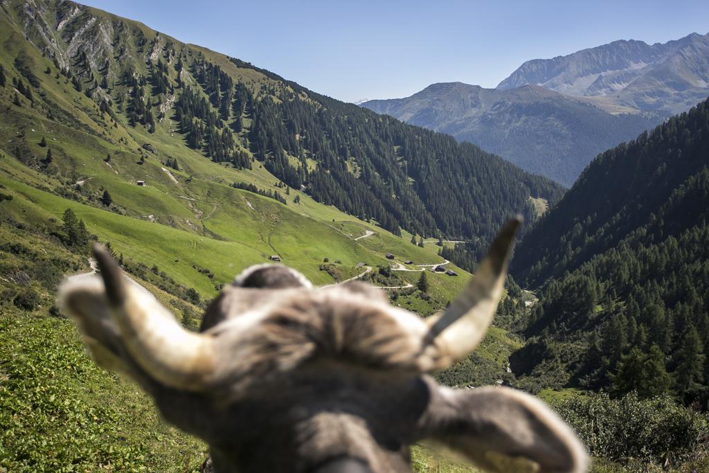Kuh auf der Junsalm
